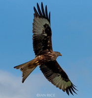Red Kite III